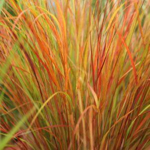 Bamboo/Grasses