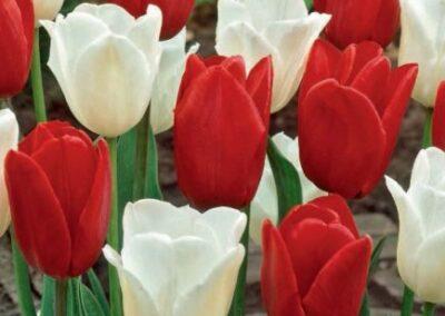 Tulipa 'Amsterdam' (Bulbs)