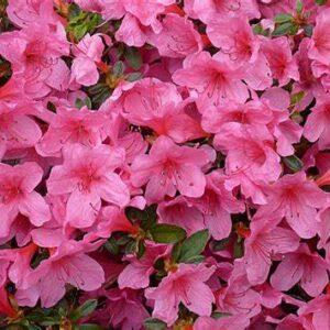 Azalea & Rhododendrons